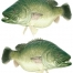 MURRAY COD DUAL BOAT STICKA SMALL
