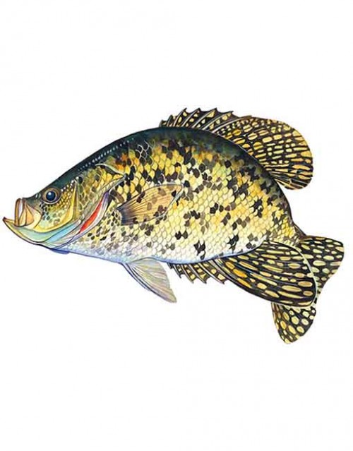 Black crappie small