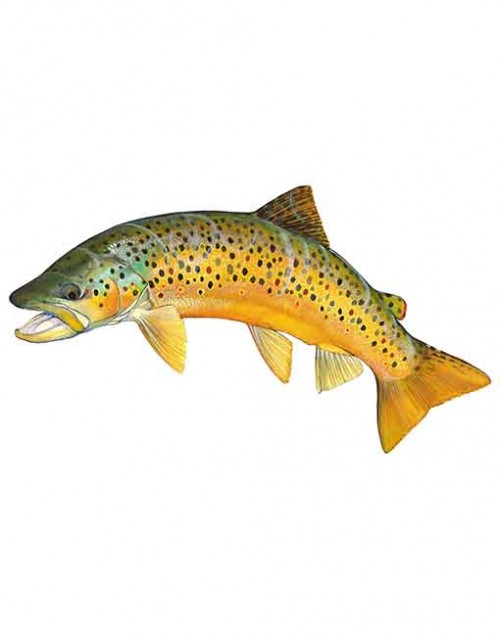 Brown Trout ST005