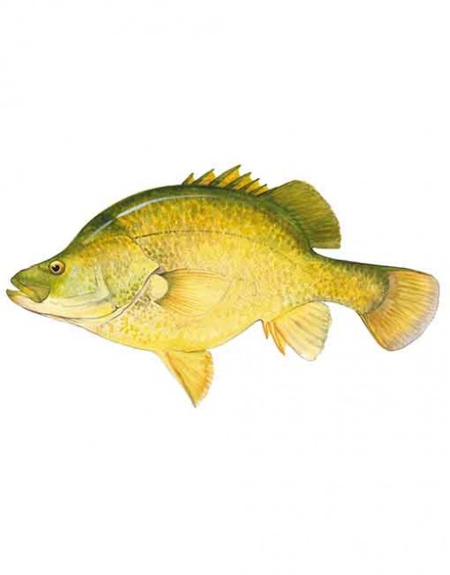 Golden Perch ST008