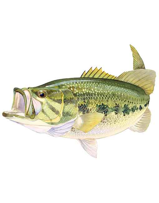 Largemouth Bass SMALL