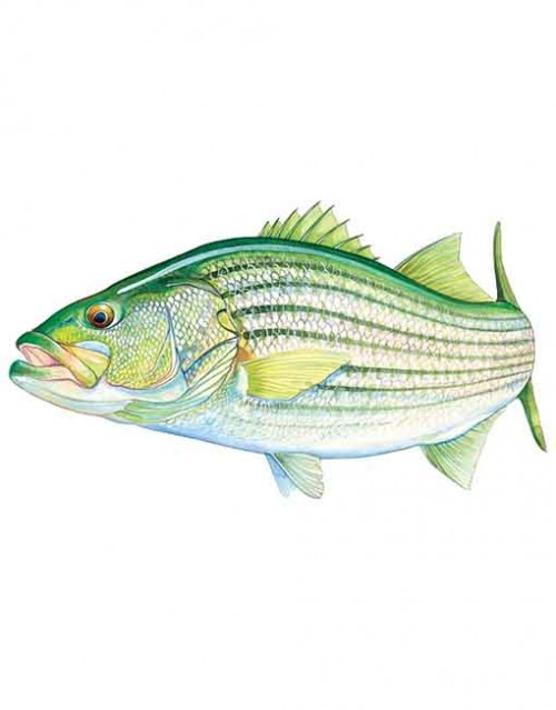 Striped bass small