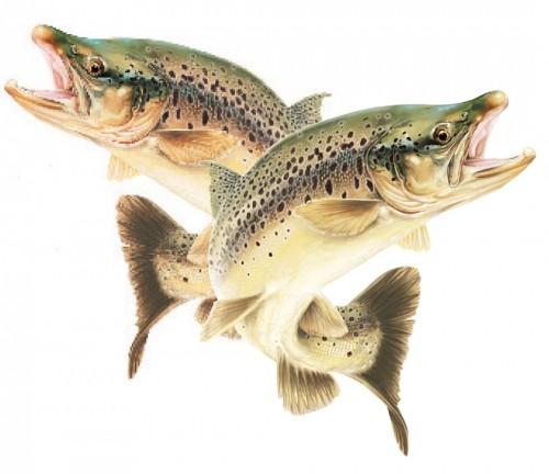 Trout Mirror pair