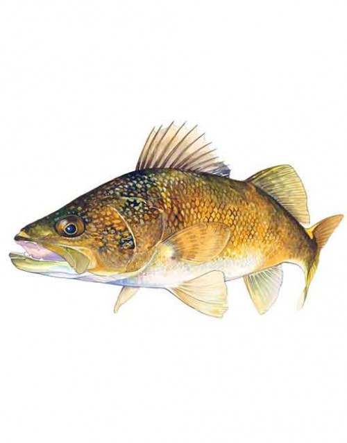 Walleye small